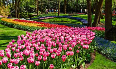 Tulips in Amsterdam - AmaWaterways