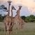 Khwai River Lodge - Safari